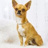 Chien Chihuahua Lucky