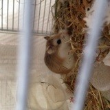 Rongeur Hamster Lukas