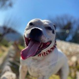 Chien Staffordshire Bull Terrier Lwhite