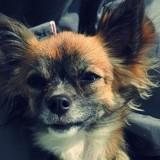 Chien Chihuahua Lya
