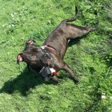 Chien Staffordshire Bull Terrier Lyly