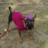 Chien Chihuahua Lyly Rose
