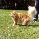 Chat Maine Coon Iggy