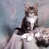Chat Maine Coon Mimi