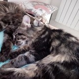 Chat Maine Coon Olga