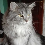 Chat Maine Coon Jody