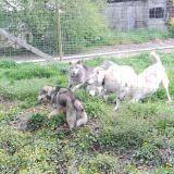 Chien Malamute de l'Alaska Hice