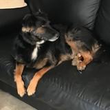 Chien Jack Russell Terrier Malko