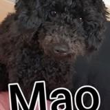Chien Caniche Mao