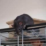 Rongeur Rat Mao
