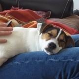 Chien Jack Russell Terrier Marley