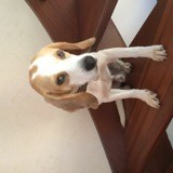 Chien Beagle Marley