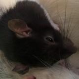 Rongeur Rat Marley