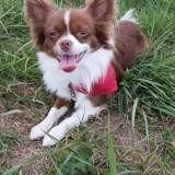 Chien Chihuahua Matcho