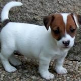Chien Jack Russell Terrier Max