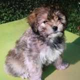 Chien Terrier tibétain Mayoux