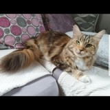Chat Maine Coon Meghann