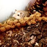 Rongeur Hamster Melodia
