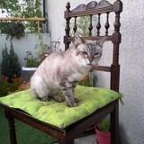 Chat Siamois Mélusine