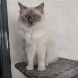 Chat Birman Merguez