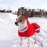 Chien Chihuahua Mia