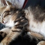 Chat American Shorthair Mia