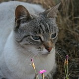 Chat Siamois Mia