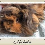 Rongeur Cochon d'Inde Michoko