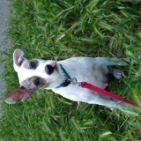 Chien Jack Russell Terrier Mickey