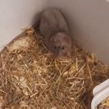 Rongeur Rat Mickey