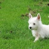 Chien West Highland White Terrier Micky