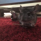 Rongeur Chinchilla Mika