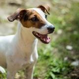 Chien Jack Russell Terrier Milka