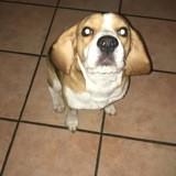 Chien Beagle Milo