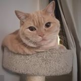 Chat British Shorthair Milo