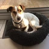 Chien Jack Russell Terrier Milo