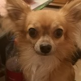 Chien Chihuahua Milo