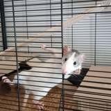 Rongeur Rat Mimi