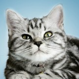 Chat American Shorthair Minette