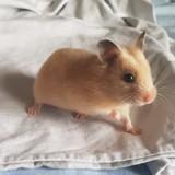 Rongeur Hamster Mini