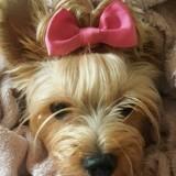 Chien Yorkshire Terrier Minnie