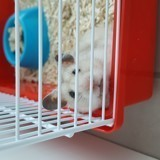 Rongeur Hamster Minnie
