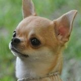 Chien Chihuahua Minnie