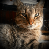 Chat Ocicat Minou