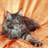 Chat Maine Coon Mirabelle