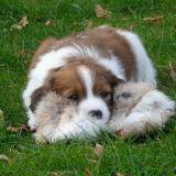 Chien Petit chien hollandais de chasse au gibier d'eau Mirtille
