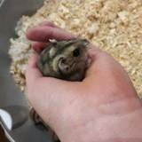 Rongeur Hamster Missy