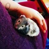 Rongeur Hamster Mistigri