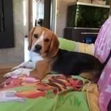 Chien Beagle Moka