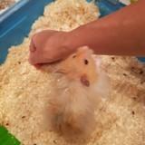 Rongeur Hamster Moka